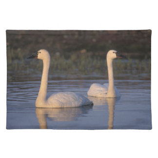Whistling swan or tundra swan, swimming in the placemat