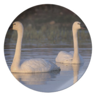 Whistling swan or tundra swan, swimming in the plate