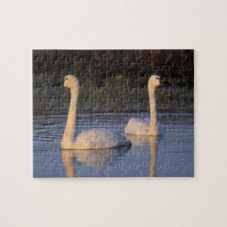 Whistling swan or tundra swan, swimming in the puzzles
