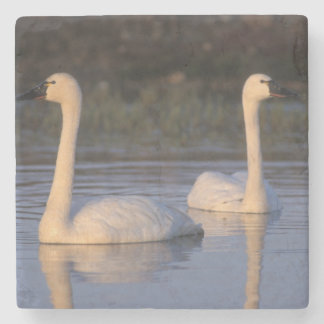 Whistling swan or tundra swan, swimming in the stone coaster