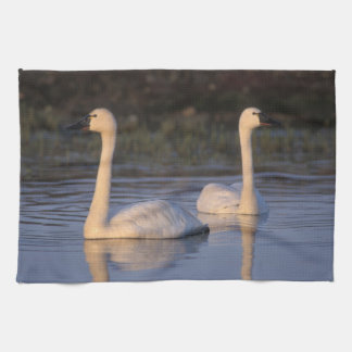 Whistling swan or tundra swan, swimming in the tea towel