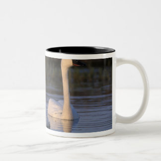 Whistling swan or tundra swan, swimming in the Two-Tone coffee mug