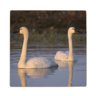 Whistling swan or tundra swan, swimming in the wood coaster