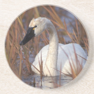 Whistling swan swimming in a pond, 1002 Coastal Coaster