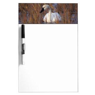 Whistling swan swimming in a pond, 1002 Coastal Dry Erase Board