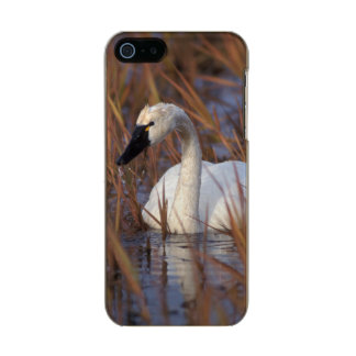 Whistling swan swimming in a pond, 1002 Coastal Incipio Feather® Shine iPhone 5 Case