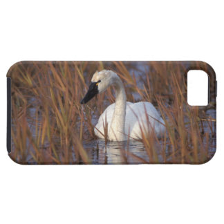 Whistling swan swimming in a pond, 1002 Coastal iPhone 5 Cover
