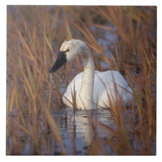 Whistling swan swimming in a pond, 1002 Coastal Large Square Tile