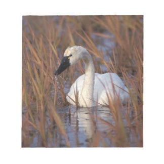Whistling swan swimming in a pond, 1002 Coastal Notepad