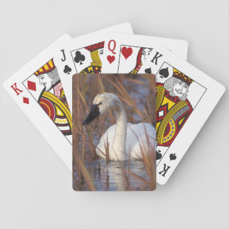 Whistling swan swimming in a pond, 1002 Coastal Playing Cards