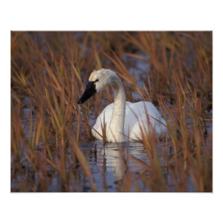 Whistling swan swimming in a pond, 1002 Coastal Poster