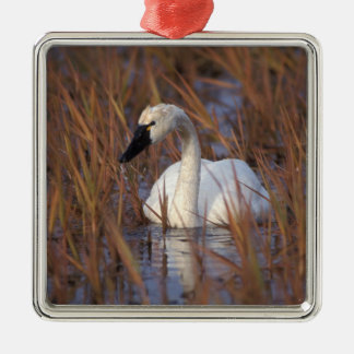 Whistling swan swimming in a pond, 1002 Coastal Silver-Colored Square Decoration