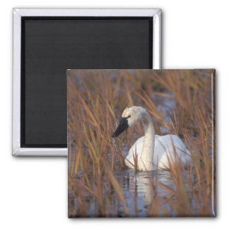 Whistling swan swimming in a pond, 1002 Coastal Square Magnet
