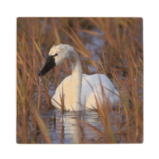 Whistling swan swimming in a pond, 1002 Coastal Wood Coaster
