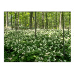 white A field of trilliums, Niagara Falls flowers Postcards