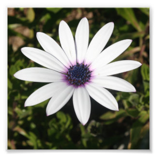 White African Daisy Photo