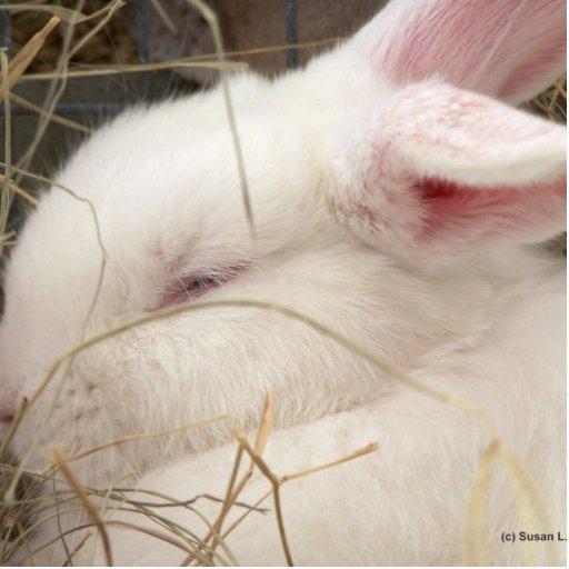 White albino netherland dwarf rabbit head cut out