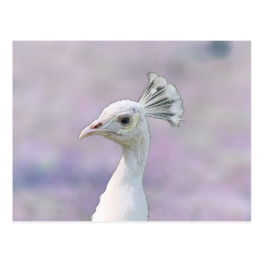 White albino peacock against purple back postcard