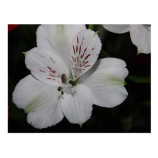 White Alstroemeria Post Card