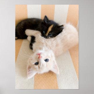 White And Black Kitten Lying On Sofa Poster