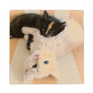 White And Black Kitten Lying On Sofa Wood Coaster