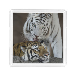 White And Brown Tigers Resting Acrylic Tray