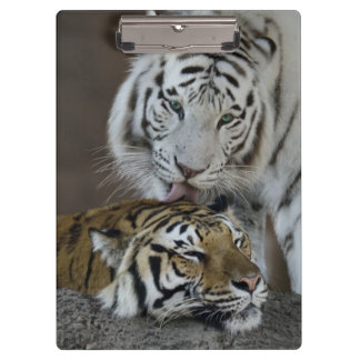 White And Brown Tigers Resting Clipboard