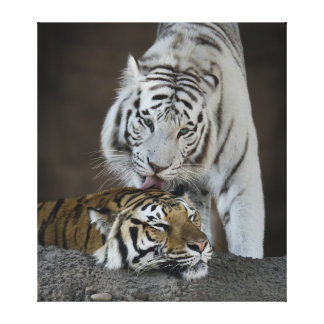 White And Brown Tigers Resting Gallery Wrap Canvas