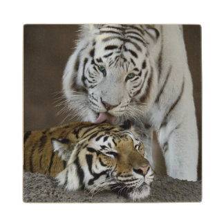 White And Brown Tigers Resting Maple Wood Coaster