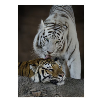 White And Brown Tigers Resting Poster