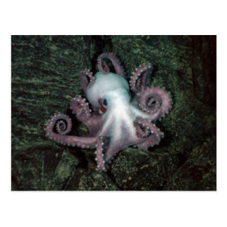 White and Pink Octopus Postcard