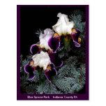 White and Purple Iris Postcards
