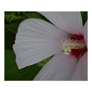 White and Red Hibiscus Flower Poster