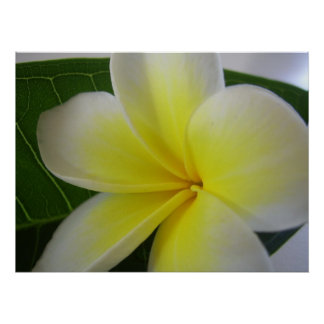 White And Yellow Frangipani Flower Poster
