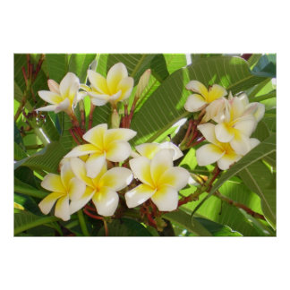 White and Yellow Frangipani Flowers with Leaves in Print