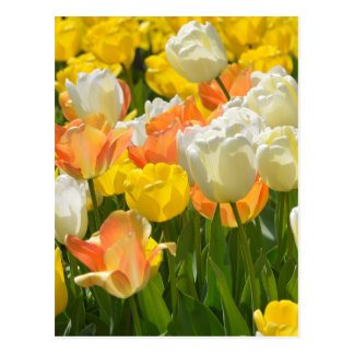 White and yellow tulips postcard