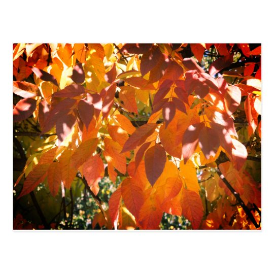 White ash (Fraxinus americana) fall colour Postcard