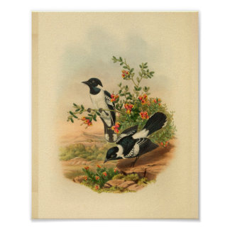 White Backed Flycatcher Black Bird Vintage Print