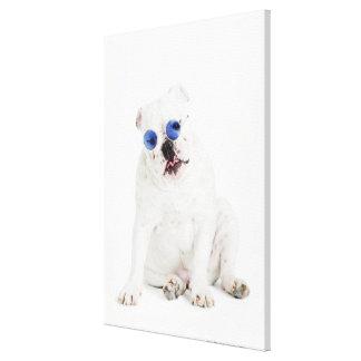 white background, white bulldog, blue tinted canvas print