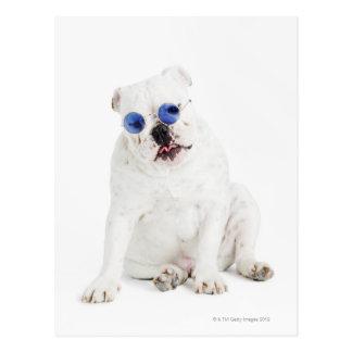 white background, white bulldog, blue tinted postcard