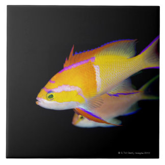 White Bar Anthias Large Square Tile
