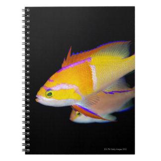 White Bar Anthias Notebook