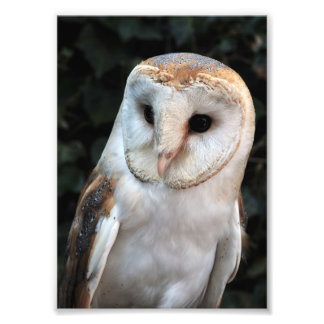 White Barn Owl Photo Art