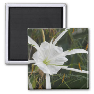 White Beach Spider Lily Lilies Flower Photo Magnets