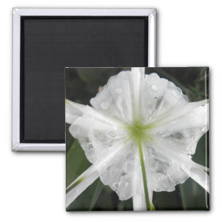 White Beach Spider Lily Lilies Flower Photo Square Magnet