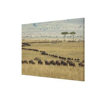 White-bearded Wildebeest or Gnu, Connochaetes 2 Canvas Print
