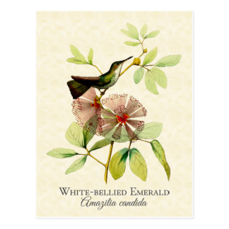 White Bellied Emerald Hummingbird Vintage Art Postcard