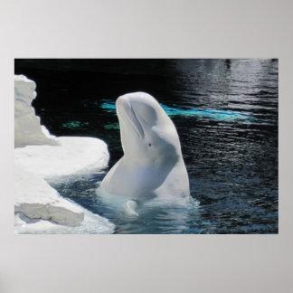 White Beluga Whale Poster