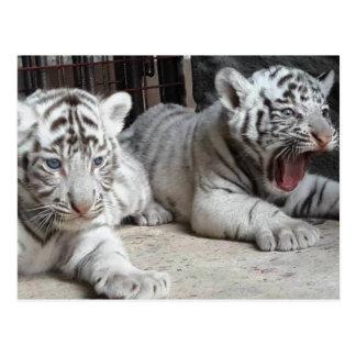 White Bengal Tiger Cubs, Trinidad Postcard