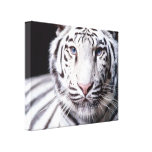 White Bengal Tiger Photography Canvas Prints